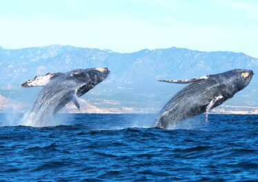 Whale-Watch-Cabo-Humpback-Whales-Double-Breach-min